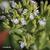 Stevia-fleur