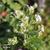 Stevia-inflorescence
