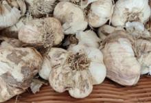 Willers-hof. ail blanc