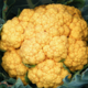 Willers-hof. Chou fleur jaune
