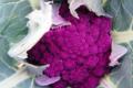 Willers-hof. Chou fleur violet