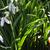Perce-neige-feuille
