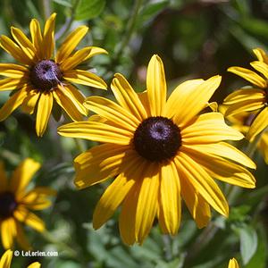 Rudbeckia fulgida Fleur