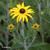 Rudbeckia-fulgida-inflorescence