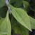 Rudbeckia-fulgida-feuille