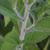 Rudbeckia-fulgida-tige