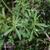 Geranium-sanguin-feuille