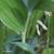 Sceau-de-salomon-tige
