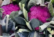 Maison Argentain. choux fleurs violet