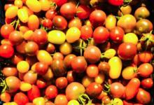 Maison Argentain. tomate cerise