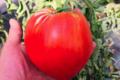 Maison Argentain. tomate coeur de boeuf