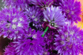 fleur de ciboulette du jardin