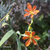 Iris-tigre-inflorescence