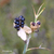 Iris-tigre-graine