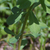 Euphorbe-reveil-matin-feuille
