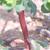 Euphorbe-reveil-matin-tige