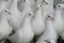 Les Pigeonneaux Du Stade