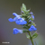 Sauge-uliginosa-fleur