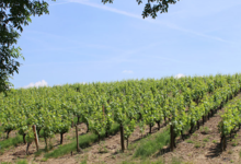 Vignobles Fabien Murail