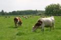 Gaec Bio Avenir. Viande bovine