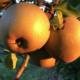 Ferme des Quantières. Pomme Bertanne