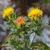 Carthame-des-teinturiers-inflorescence