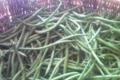 Ferme de la Binette. Haricots verts