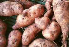 Le Cayre de Valjancelle. Patates douces blanches d'Hyères
