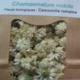 Plantbiorel. Camomille romaine