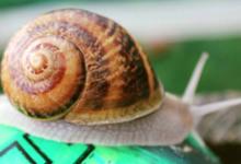 Escargots safran du Grand Der