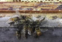 L'abeille chercheuse. Ferme de Sossa