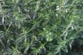 Jardin du poirier. Sarriette