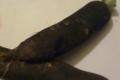 Jardin du poirier. Radis noir