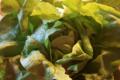 Légumes de Montsaon. Laitue