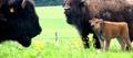 Planet'bison
