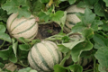 Ferme Bel-Air. Melons