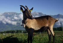 Alpage du Rey