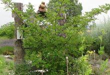 Poivre Sichuan arbre