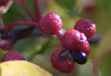 Poivre Sichuan Fruit