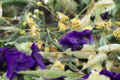 Chalouette en herbes. Rêve bleu