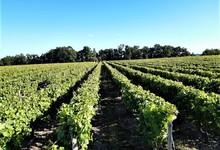 Vignes -  Domaine du Clos des Aumônes